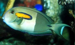 orange shoulder tang