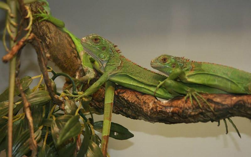 slide iguana