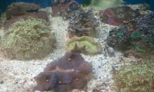 live corals brain corals